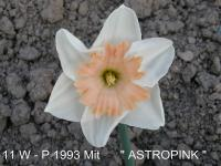 Narcissus  'Astropink'  narcis kvety