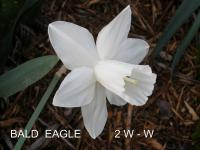 Narcissus  'Bald Eagle'  narcis kvety