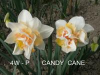 Narcissus  'Candy Cane'  narcis kvety