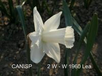 Narcissus 'Canisp'  narcis kvety