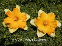 Narcissus  'Centanneés'  narcis kvety