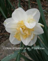 Narcissus  'Coral Strand' - narcis