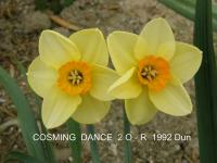Narcissus 'Cosming Dance'  narcis kvety
