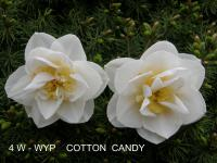 Narcissus  'Cotton Candy' - narcis