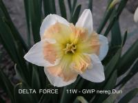 Narcissus  'Delta Force'  narcis kvety
