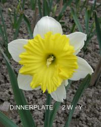 Narcissus 'Dinnerplate'  narcis kvety