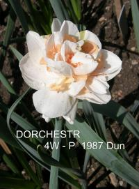 Narcissus  'Dorchester' - narcis