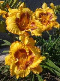 (Hemerocallis hybrida) Denivka Fooled Me