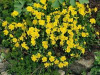 Helianthemum alpastre