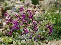 Dračík (Penstemon barbatus)