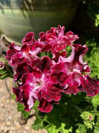 Pelargonie 'The Marchioness of Bute' (Pelargonium)