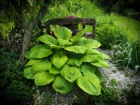 Hosta 'Sum and Substance'  funkia rastlina